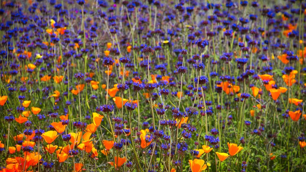 FlowerField1000